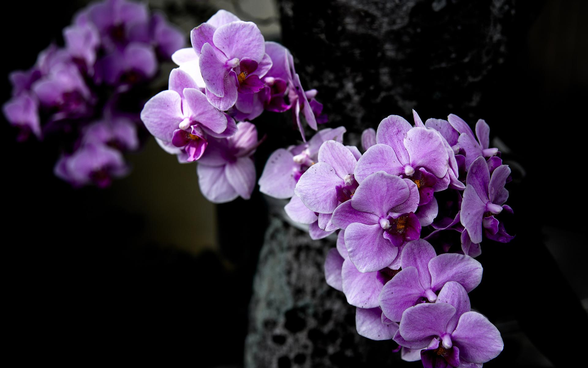Hình ảnh phong lan tím đẹp