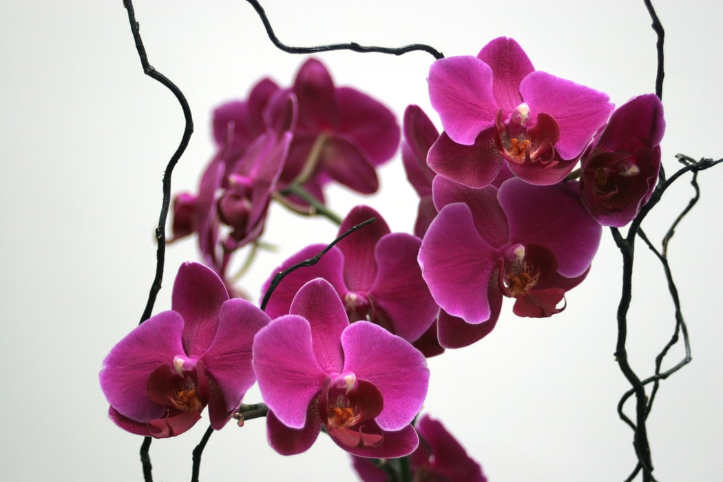Hình bông hoa lan tím đẹp
