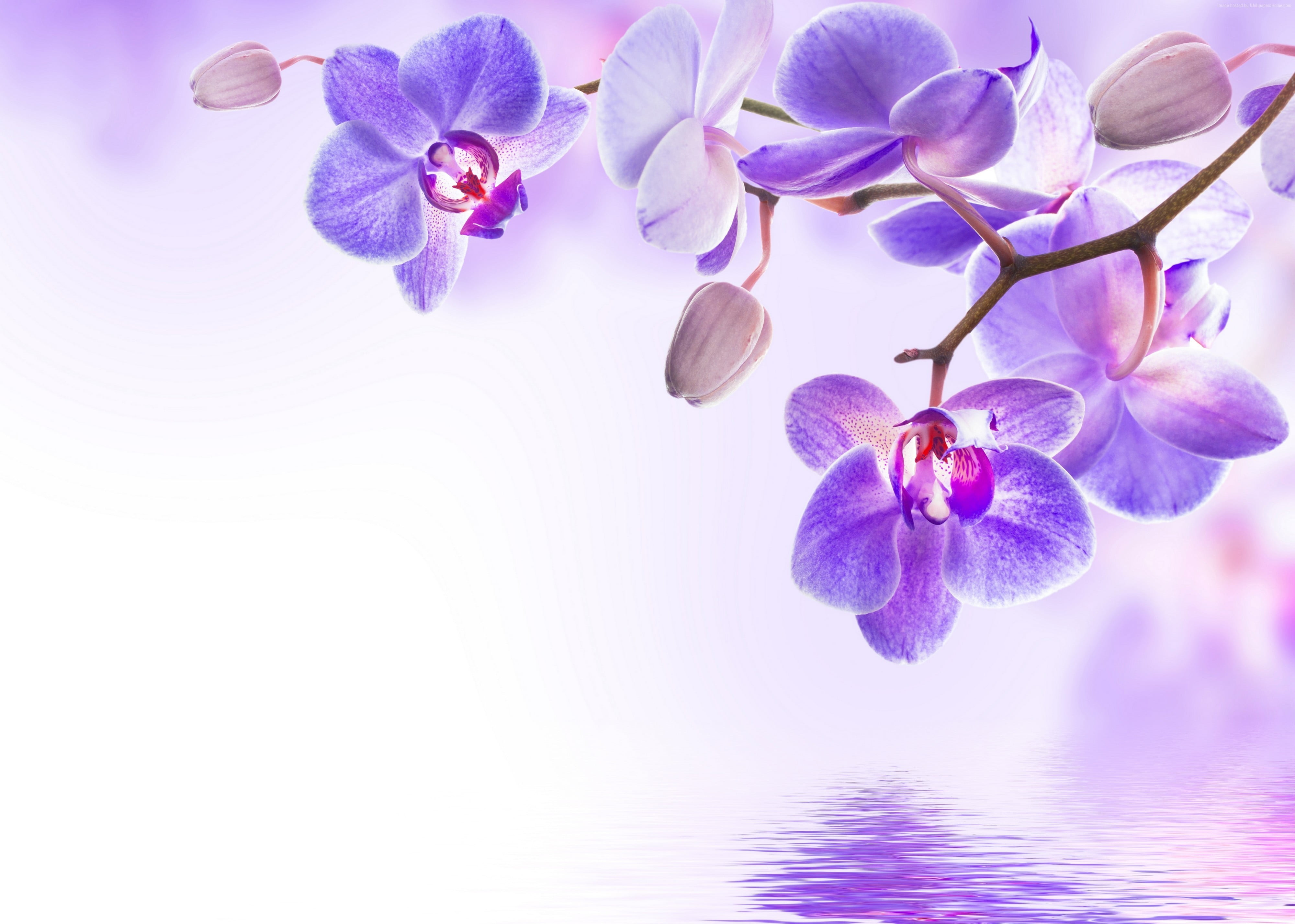 Hình nền hoa lan tím