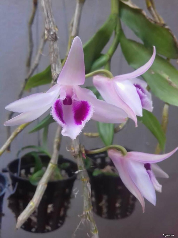 Hoa lan phi điệp tím đẹp