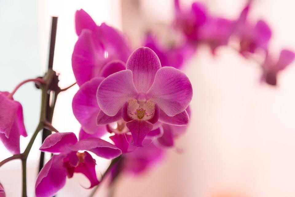 Hoa phong lan màu tím