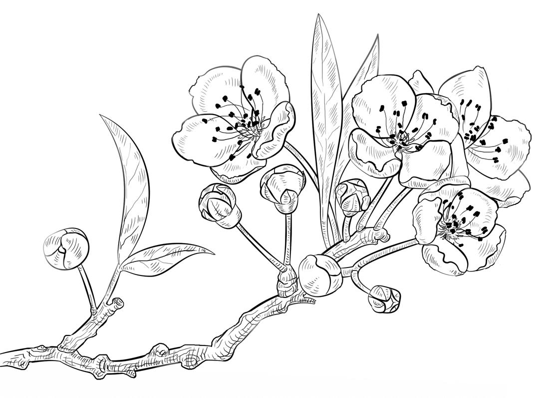 Hình ảnh tranh tô màu hoa mai