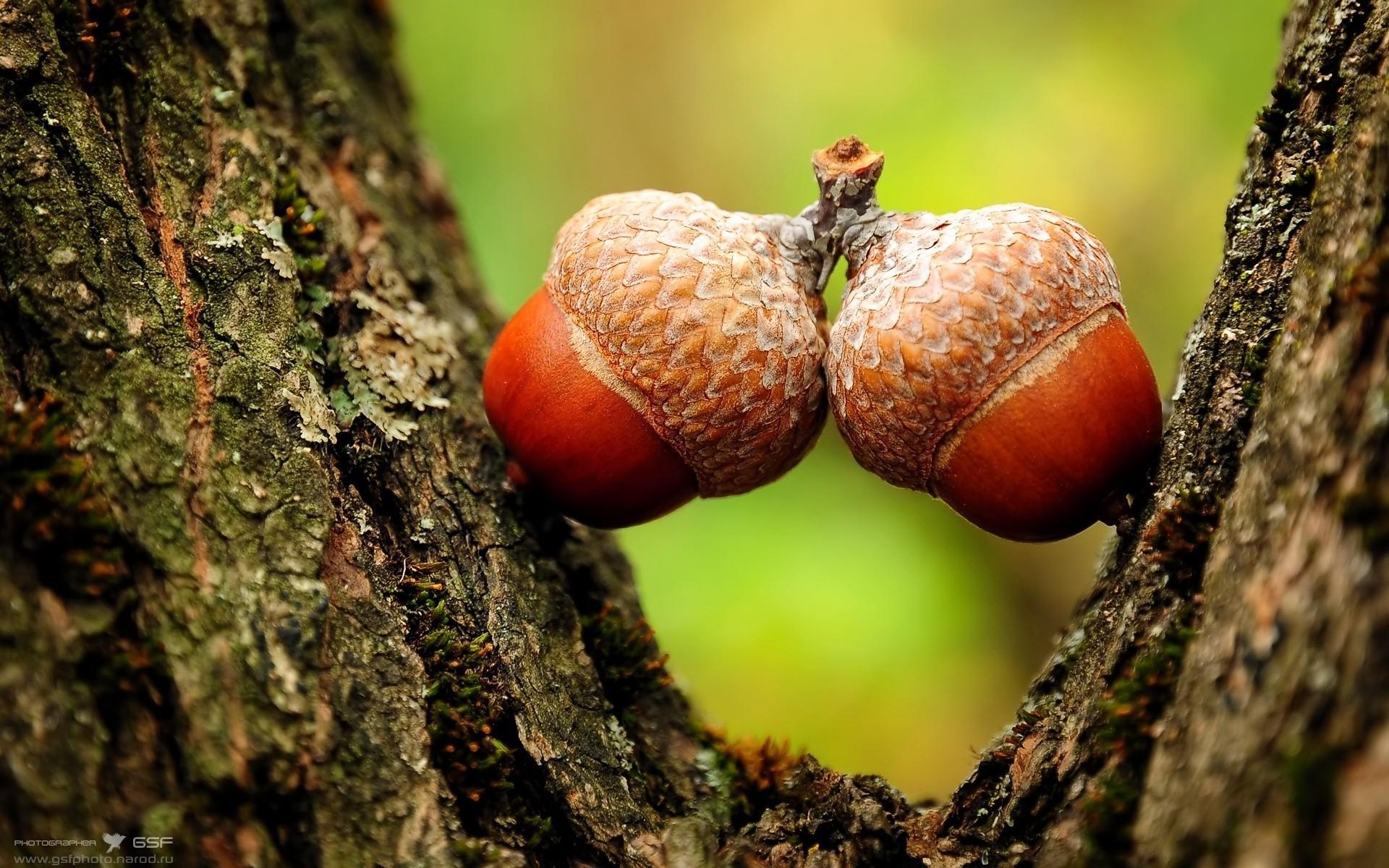 Hình nền hạt sồi may mắn đẹp nhất