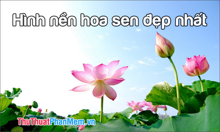 Hình nền hoa sen đẹp nhất