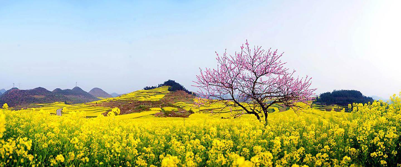 Cả một thung lũng hoa vàng nở rộ vào mùa xuân