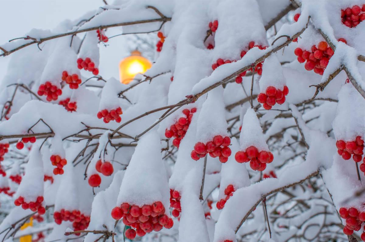 Cánh cây bị tuyết đọng phủ chỉ lộ chùm quả đỏ nhìn rất đẹp mắt