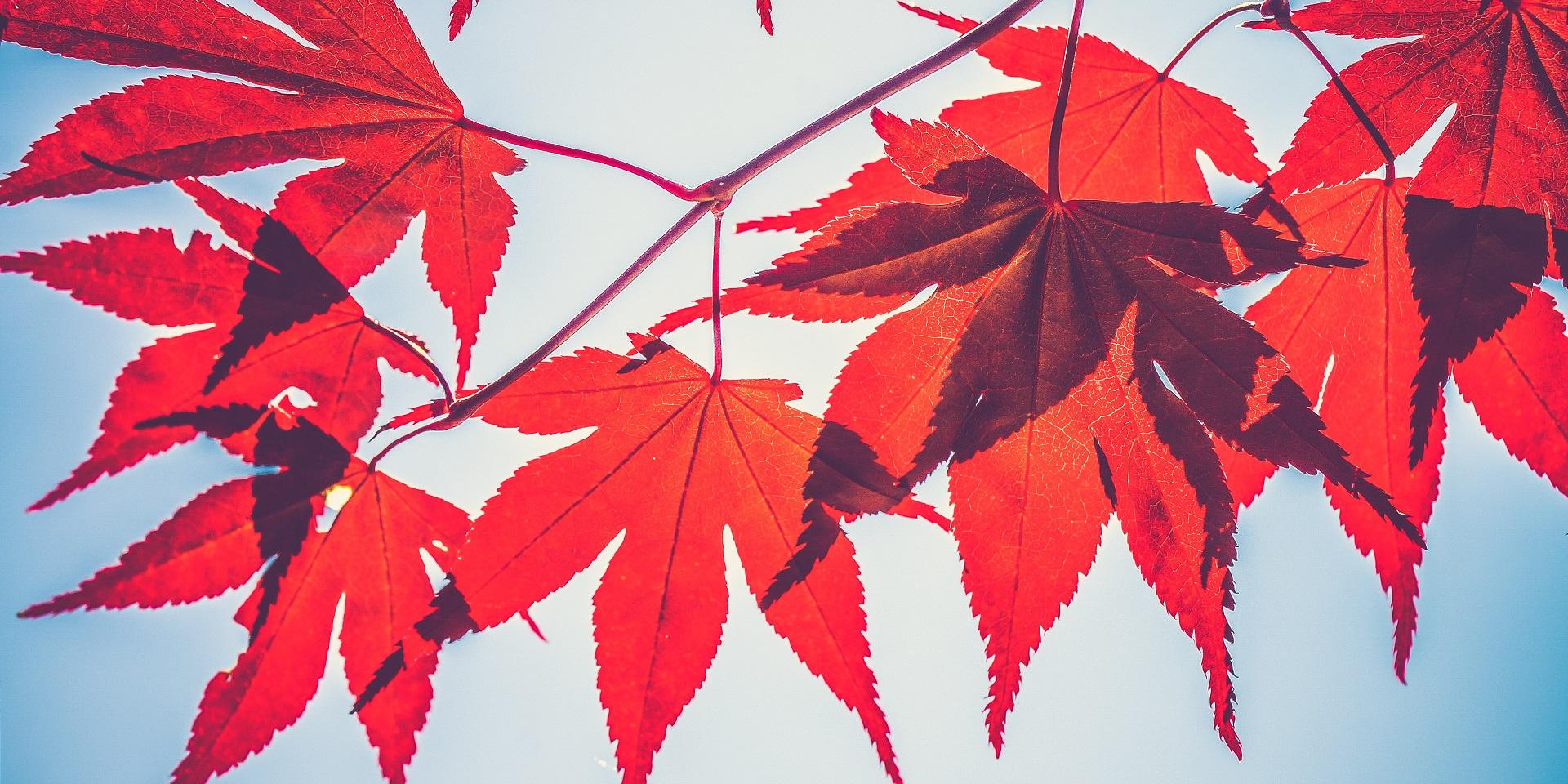 Cành lá chuyển đỏ khi thu sang