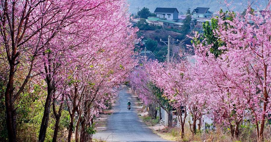 Con đường hoa đào nở tươi đẹp vào mùa xuân