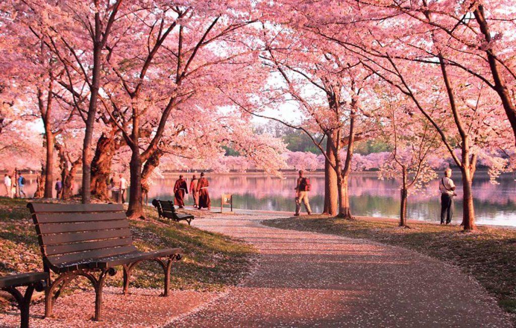 Con đường mùa xuân hoa nở hồng một góc trời