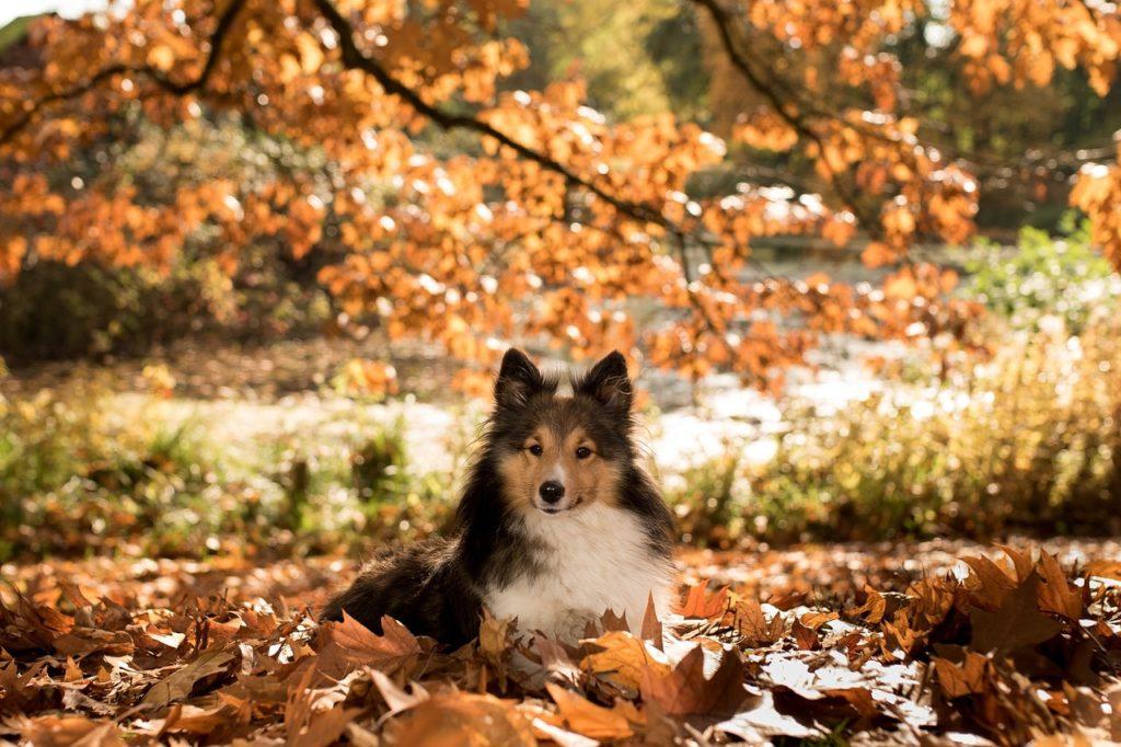 Hình ảnh bé chó chăn cừu ở giữa khung cảnh mùa thu