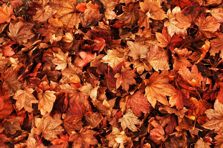 Hình ảnh lá vàng mùa thu