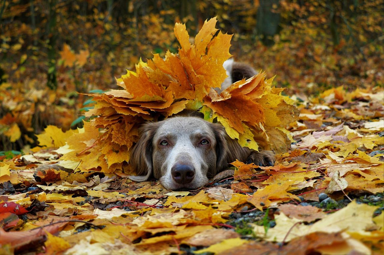 Hình ảnh mùa thu đẹp chú chó trốn dưới lớp lá vàng