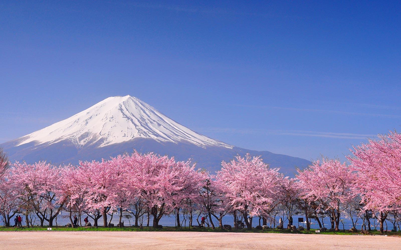 Hoa anh đào nở rộ cạnh núi Phú Sĩ