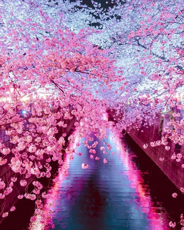 Hoa anh đào nở vào mùa xuân tươi đẹp