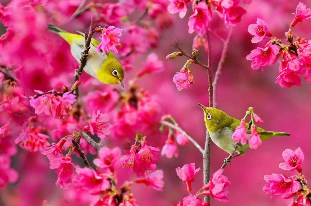 Hoa đào chim én rất đẹp vào mùa xuân