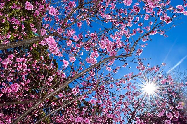 Hoa đào đẹp nở vào mùa xuân