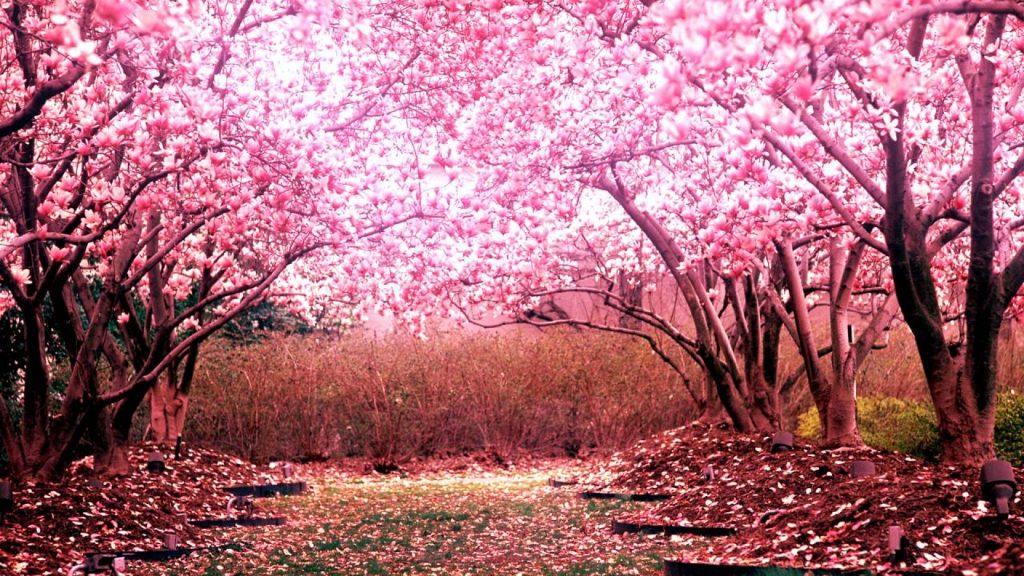Hoa đào hồng thắm nở rộ vào mùa xuân
