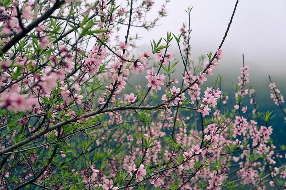 Hoa đào mùa xuân rất đẹp
