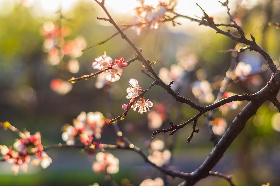 Hoa đào tươi đẹp nở rộ vào mùa xuân