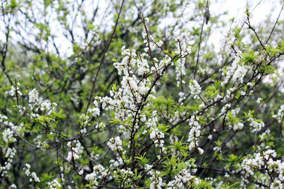 Hoa nở rộ mỗi dịp xuân về