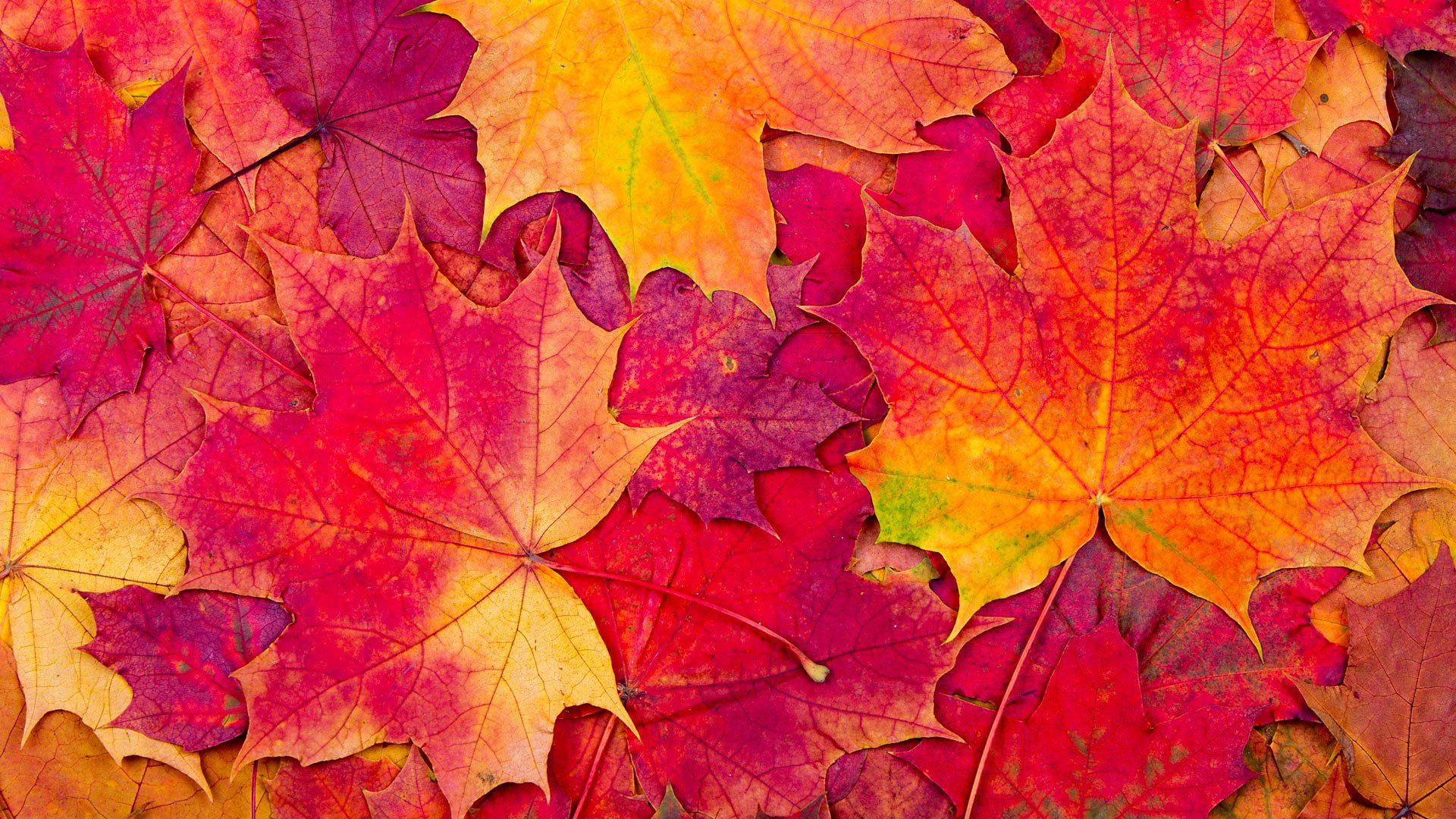 Lá phong đỏ mùa thu cực đẹp