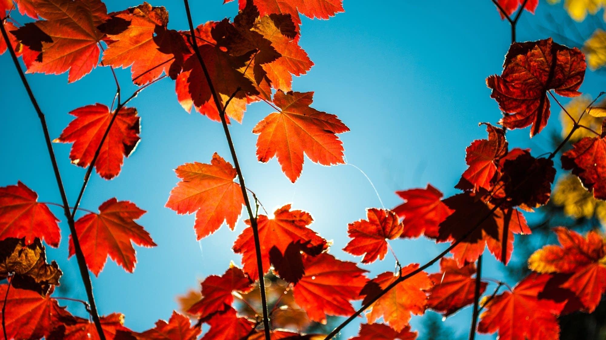 Lá phong đỏ mùa thu và nền trời xanh biếc