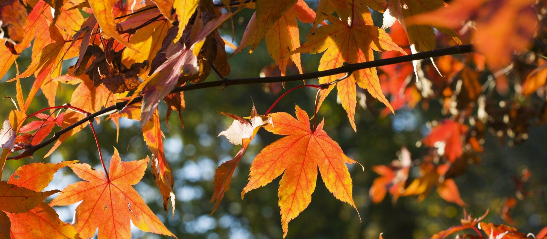 Lá phong ngả vàng vào mùa thu