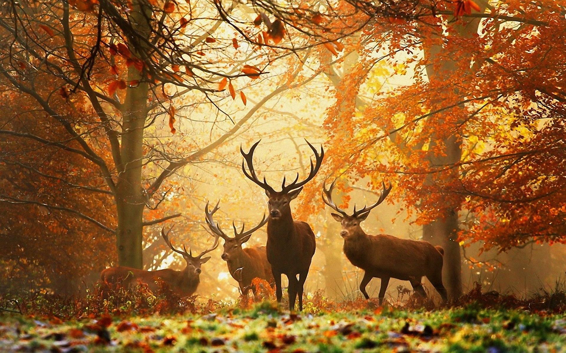 Mùa thu hươu rừng vài con