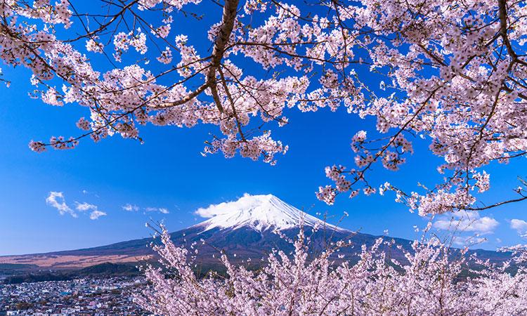 Mùa xuân anh đào nở bên núi Phú Sĩ