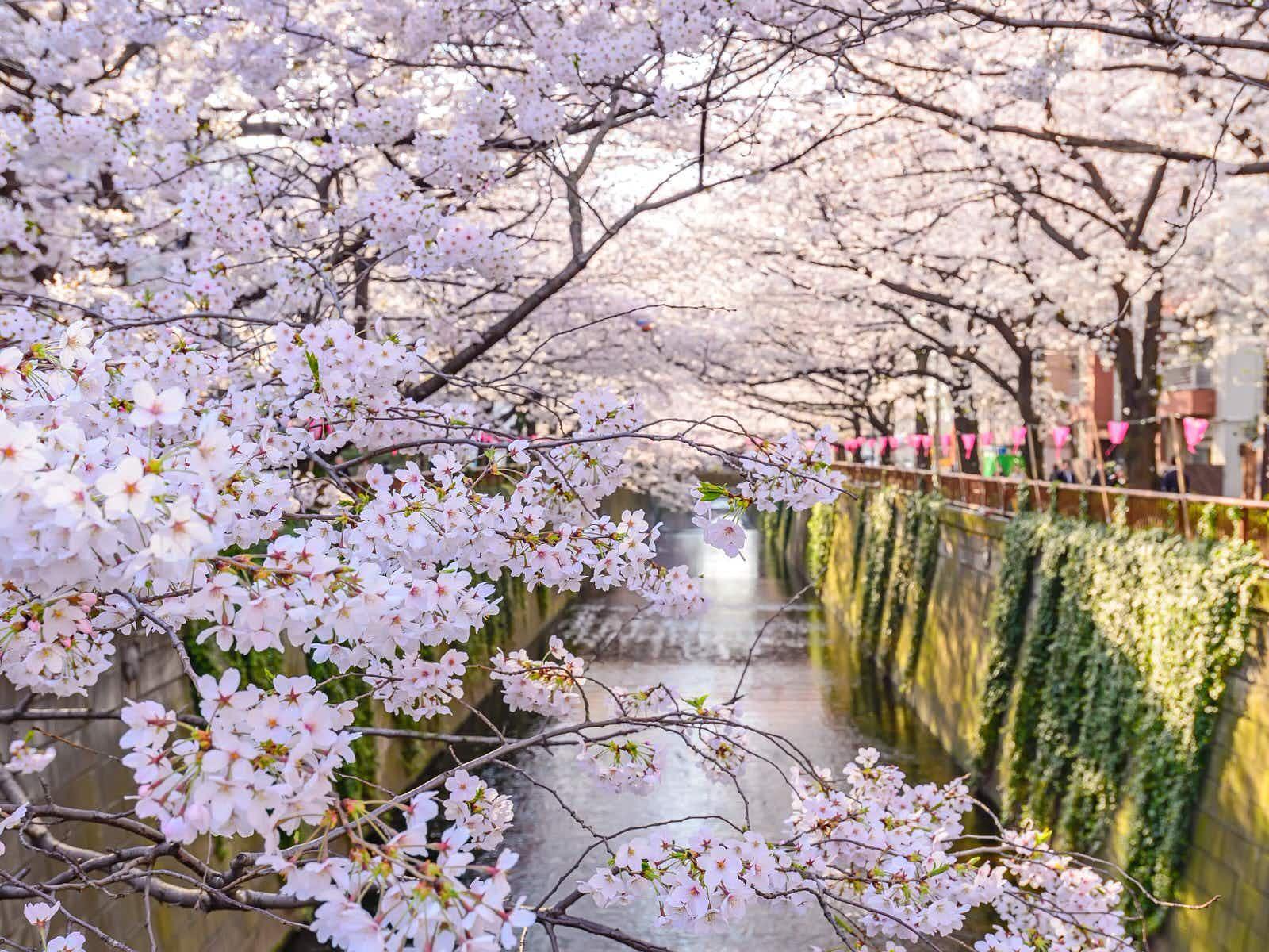 Mùa xuân cành hoa nở rất đẹp