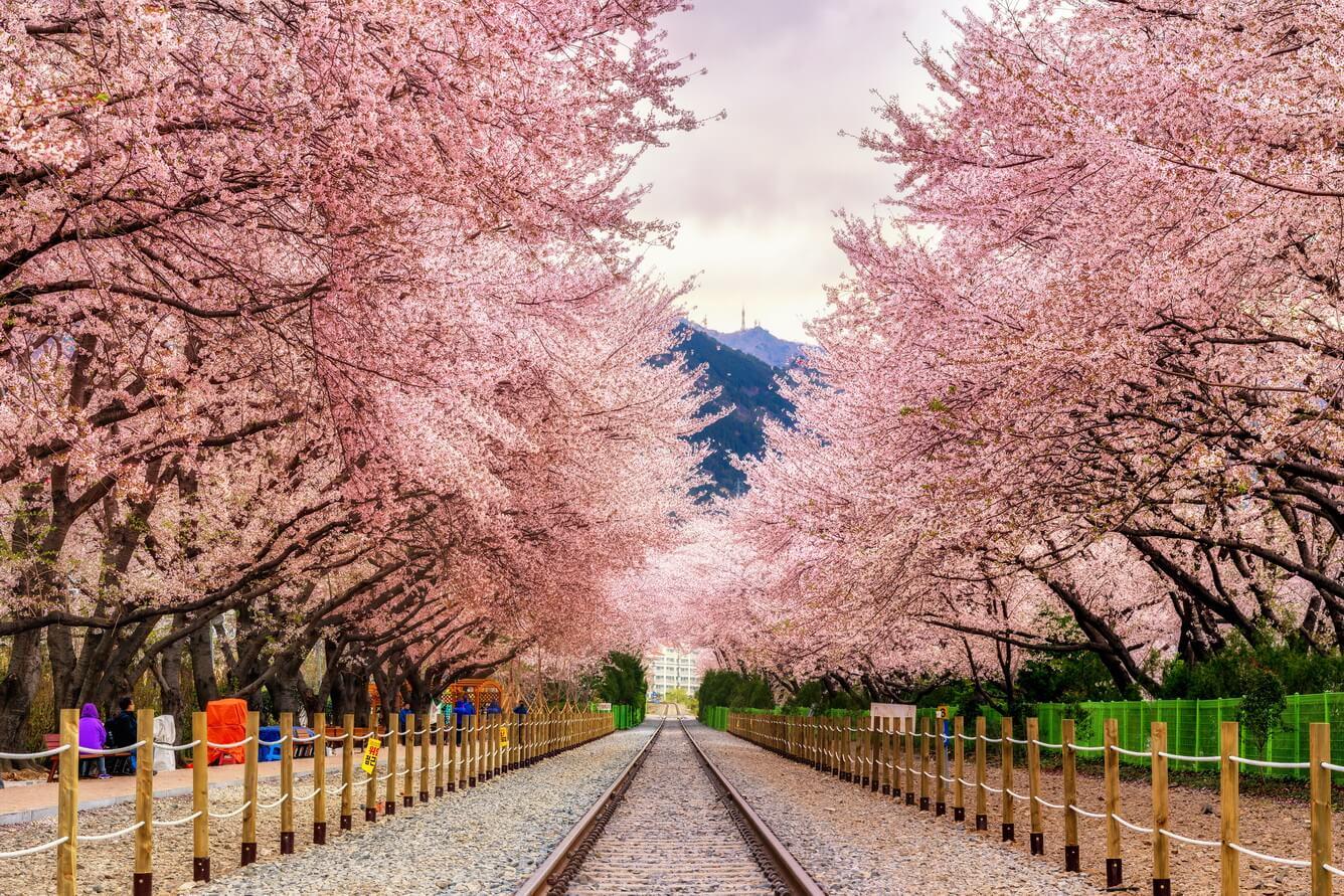 Mùa xuân hoa nở hồng rực rất đẹp