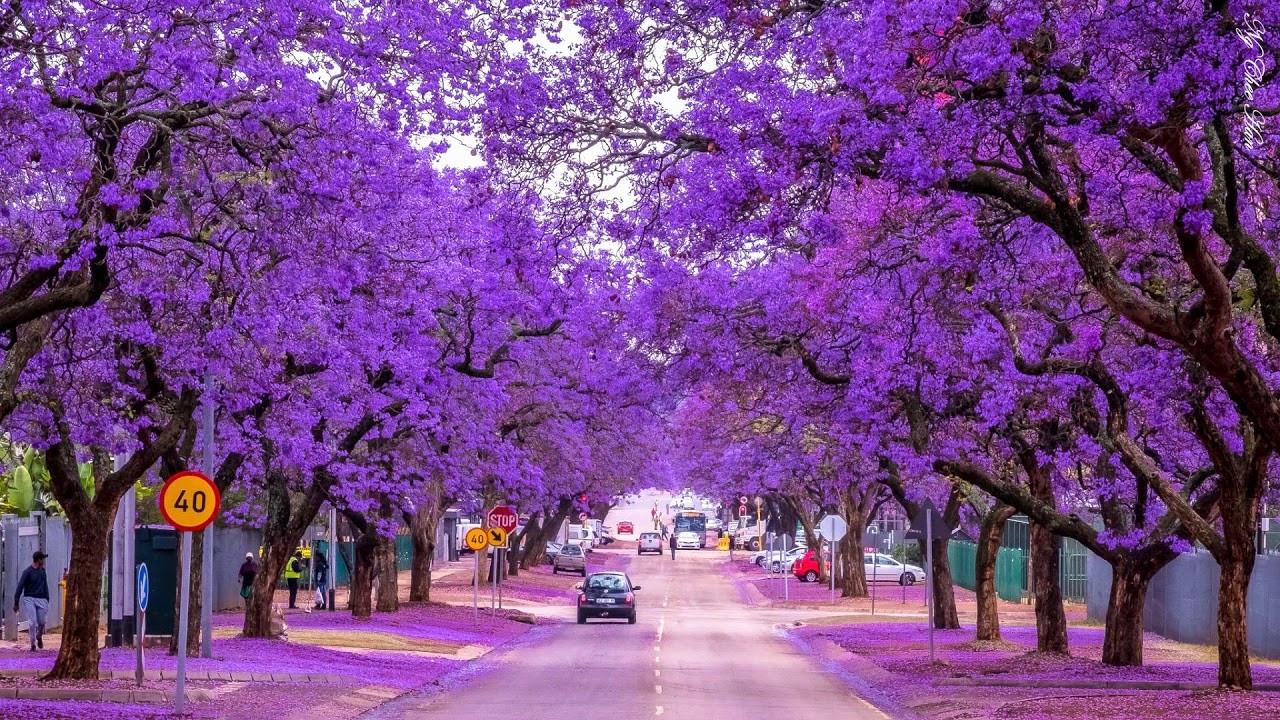 Mùa xuân hoa nở tím trời ở Úc
