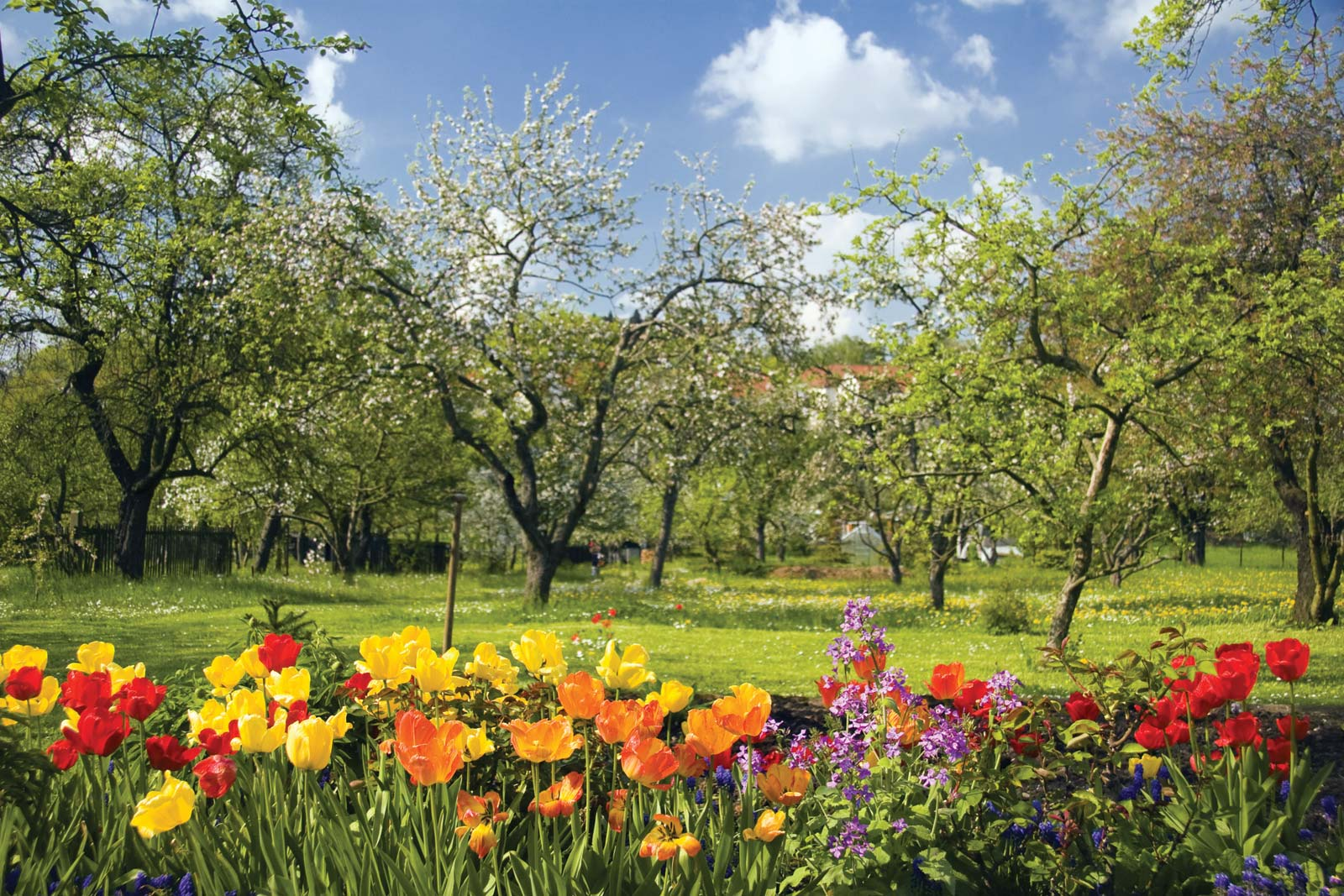 Mùa xuân về hoa ly nở rộ