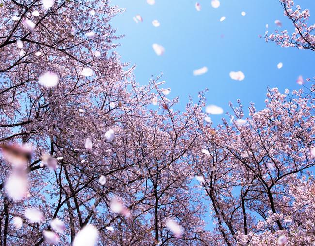 Mùa xuân về hoa nở rơi đầy sân