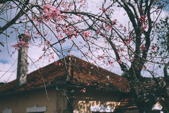 Mùa xuân về trên đất Đà Lạt