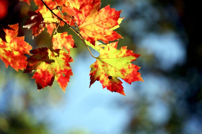 Nhành cây mùa thu lá vàng