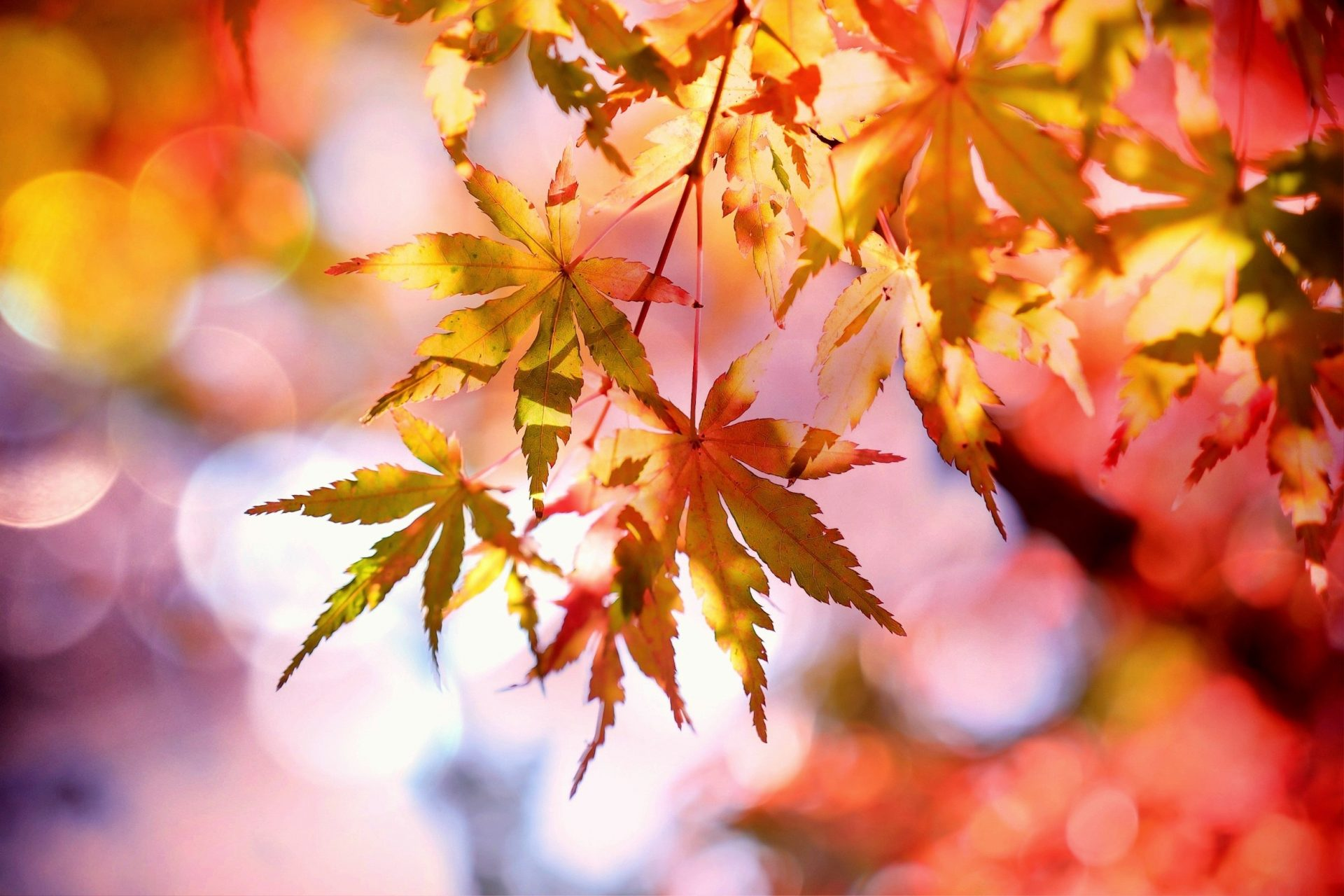 Nhánh lá phong mùa thu chuyển màu rất đẹp
