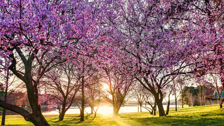 Những cây hoa nở rộ vào mùa xuân