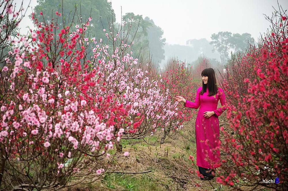 Vườn đào xuân nở rộ hoa