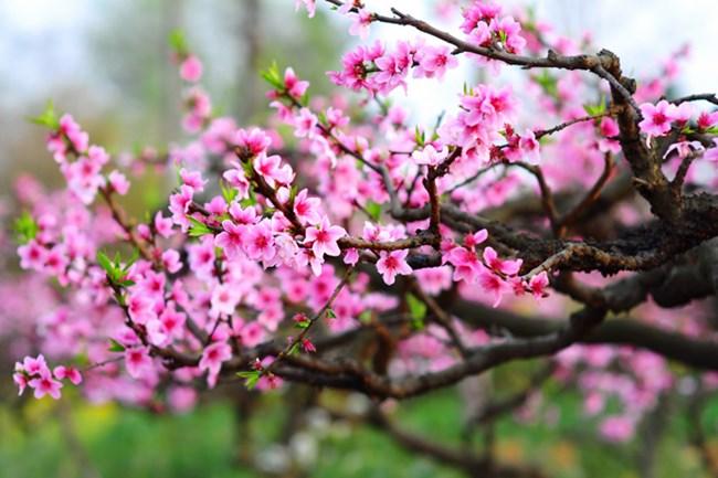 Xuân về hoa đào nở hồng thắm