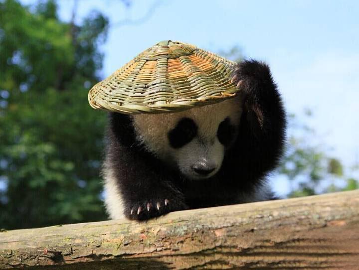 Hình ảnh gấu trúc đội nón