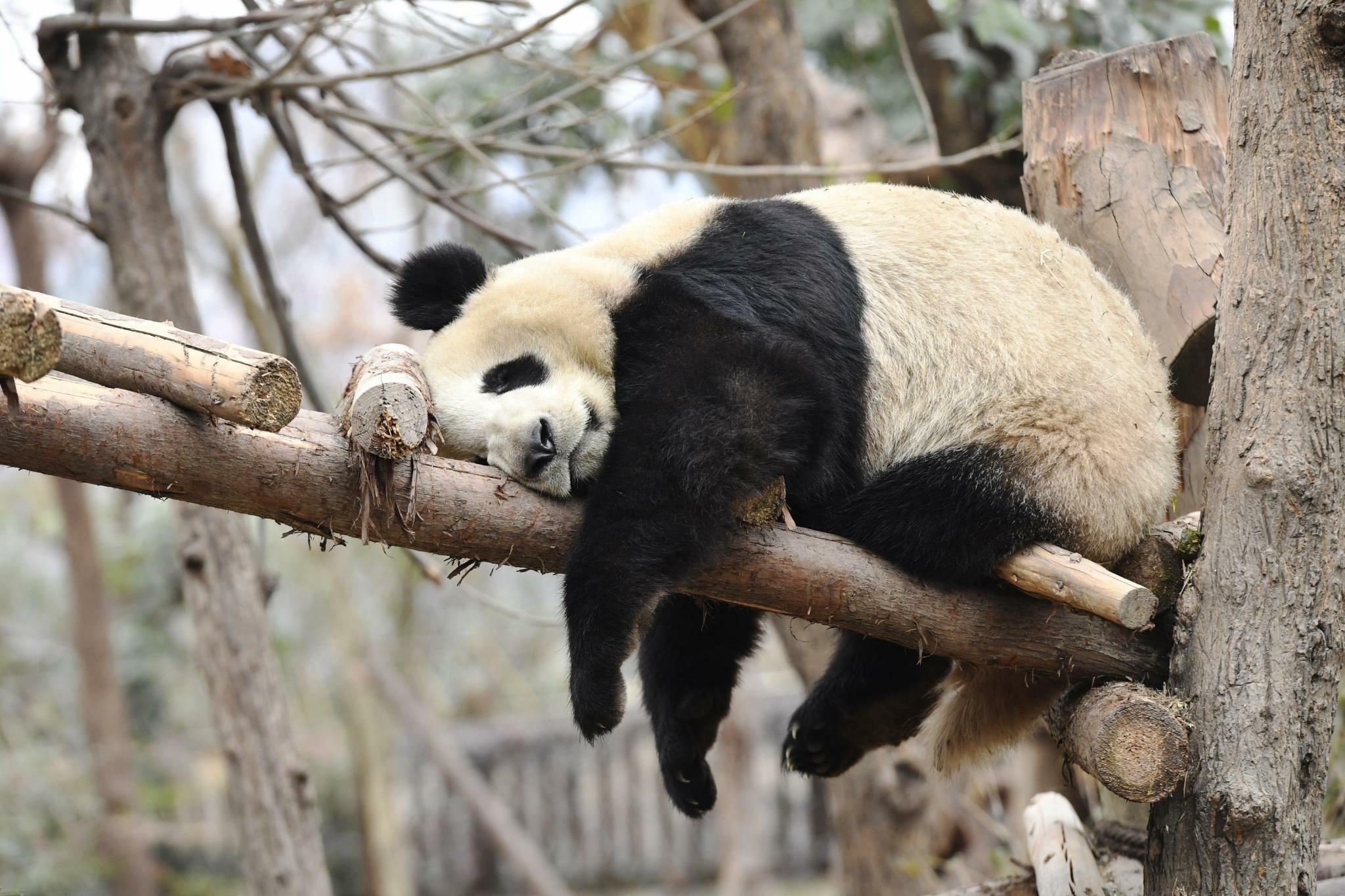 Hình ảnh gấu trúc nằm ngủ dễ thương