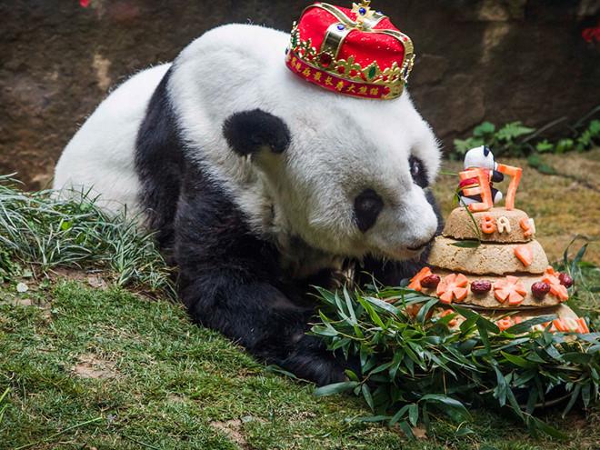 Hình ảnh sinh nhật gấu trúc
