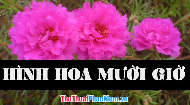 Những hình ảnh hoa mười giờ đẹp nhất