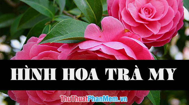 Những hình ảnh hoa trà my đẹp nhất