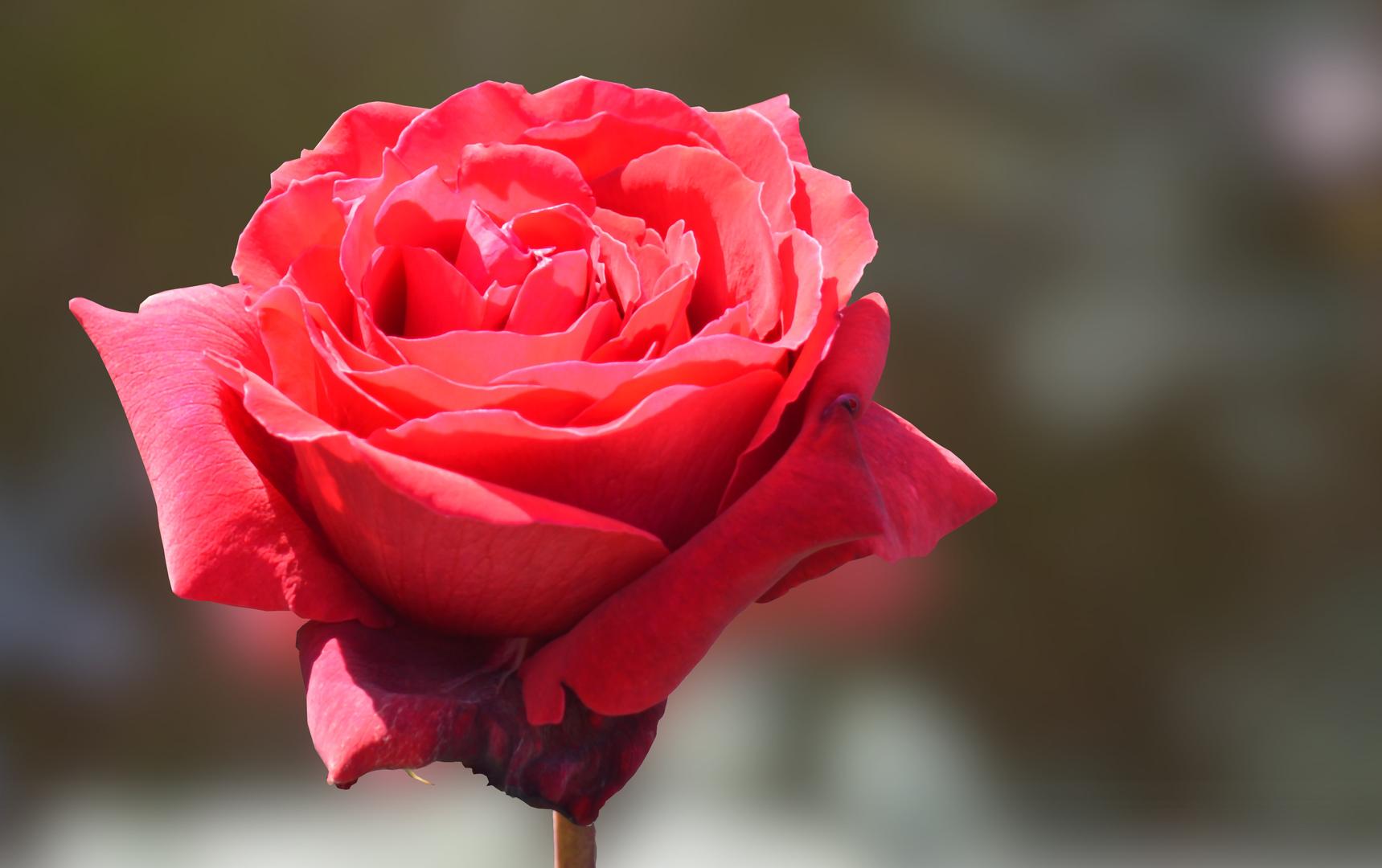 Hình nền bông hoa  đỏ