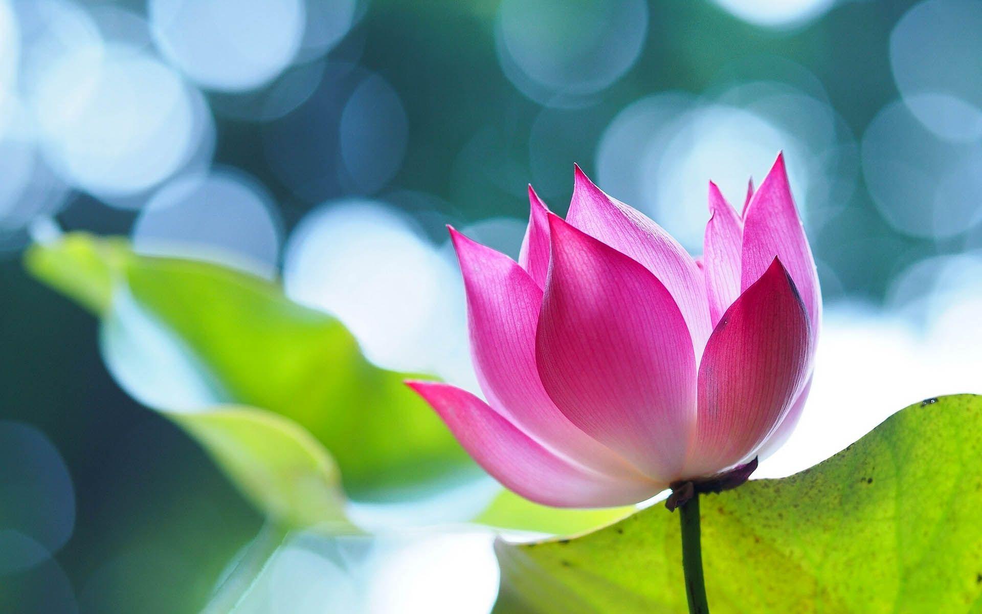 Hình nền bông hoa sen đẹp
