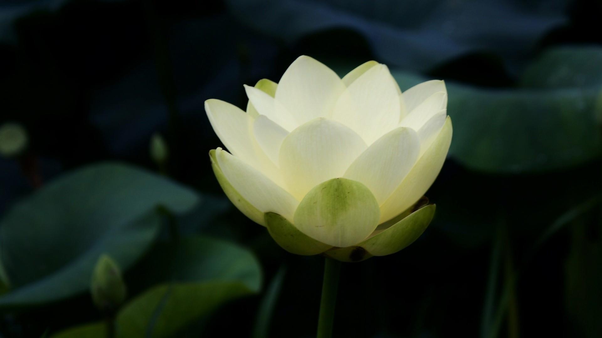 Hình nền bông hoa sen trắng