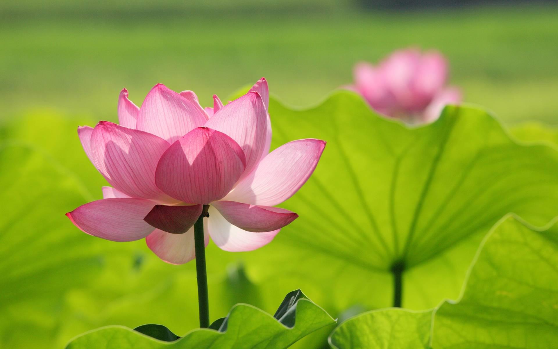 Hình nền bông hoa sen