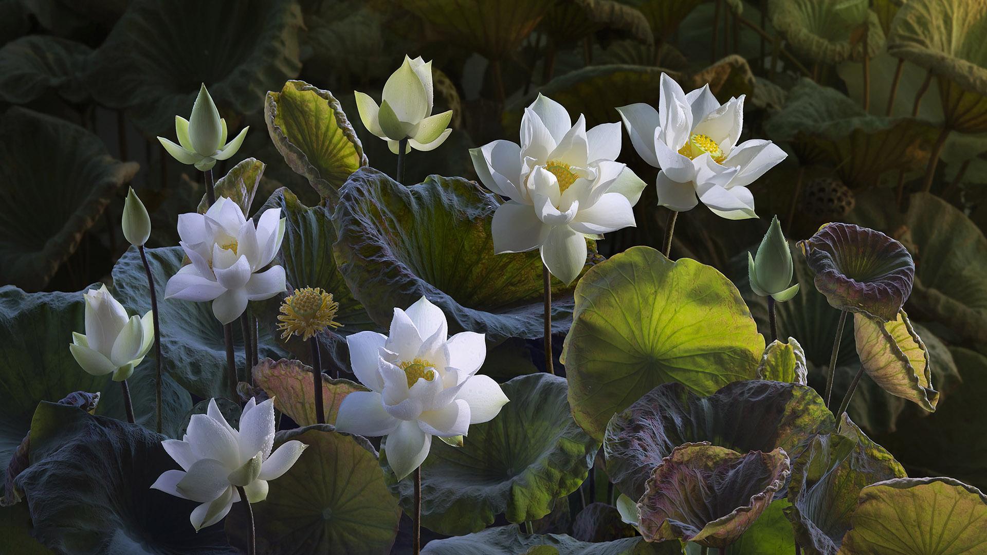 Hình nền hoa sen 3D